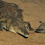 A big crocodile!