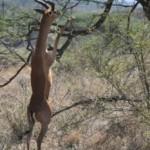 A Wailer's Gazelle