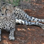 A cheetah at rest