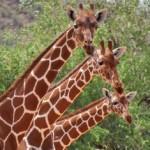 A three-headed giraffe