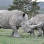 Mother rhino and cub