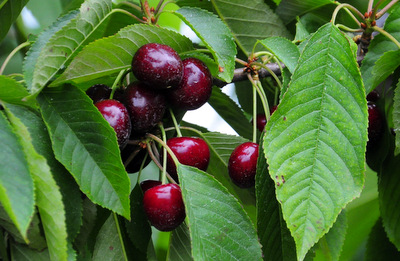 Sweet Dark Cherries