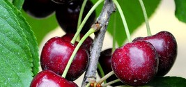 Sweet Cherries vs Tart Cherries in Baking