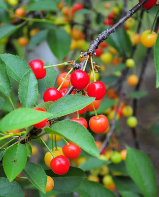 Tart Cherries on the tree